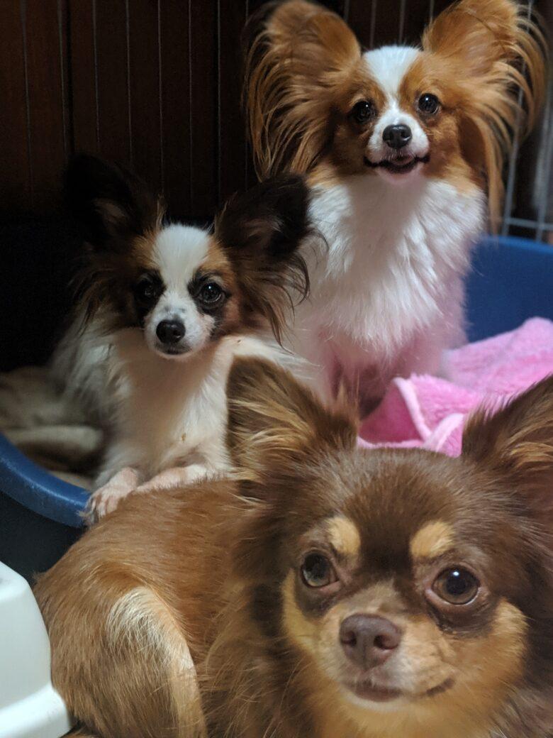 妊娠犬、ママさん、お産前⭐ライラック犬舎パピヨン
