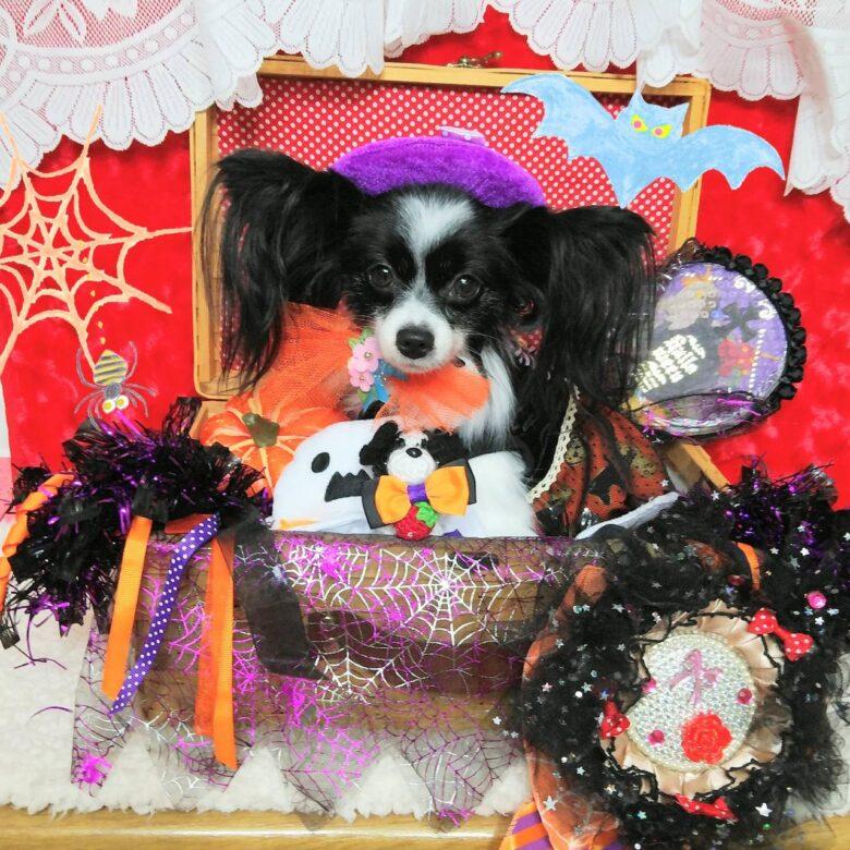 ライラック犬舎 ハロウィン オフ会 2019.10.10  (木) 1日目 開催 パピヨン