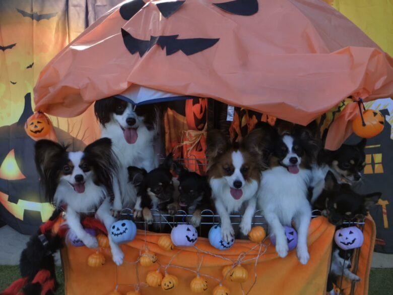 ライラック犬舎 ハロウィン オフ会 2019.10.13(日) 2日目 開催 チワワ パピヨン