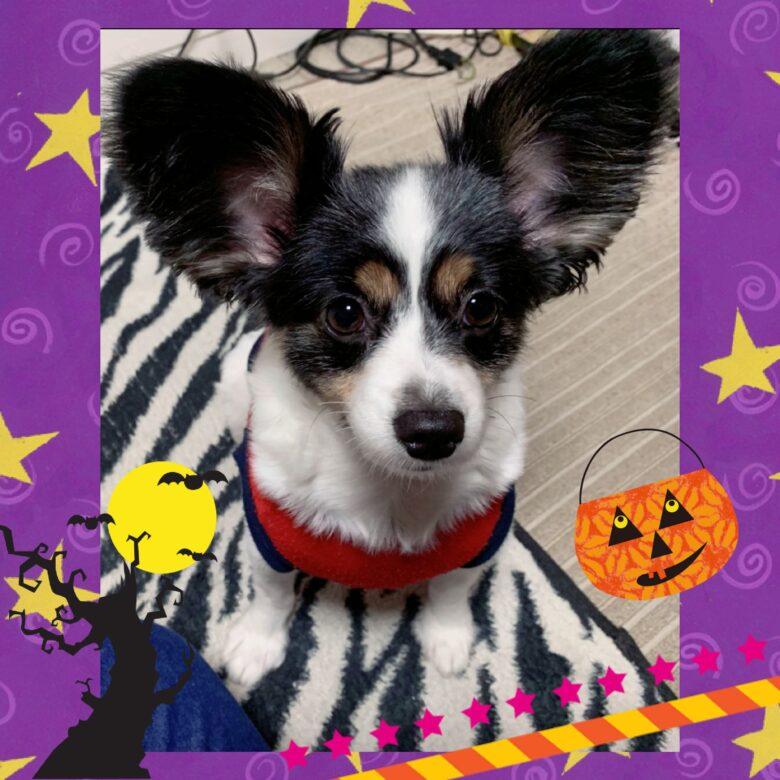 ライラック犬舎 ハロウィンオフ会 2019.10.14 (月)  3日目 開催 チワワ パピヨン