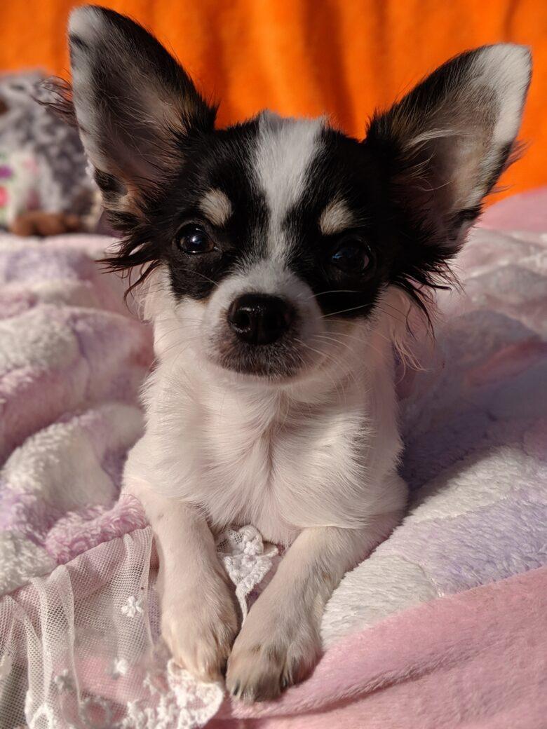 ライラック犬舎 ジュッピー 成長記録 オーナー様募集中 最新情報 子犬 男の子 ロングコートチワワ