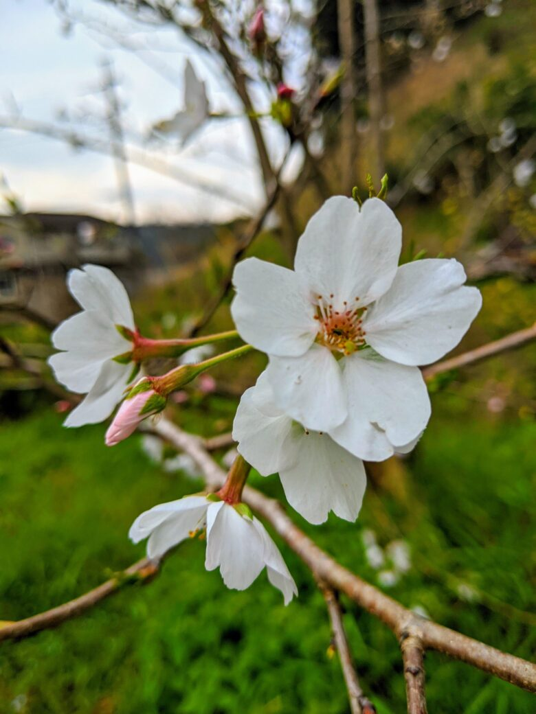桜 染井吉野 ライラック犬舎 庭 匝瑳市